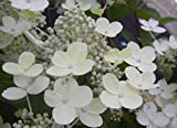 Rispenhortensie Early Sensation - Hydrangea paniculata Early Sensation