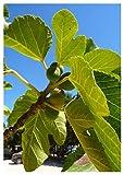 TROPICA - Winterharter Feigenbaum (Ficus Carica) - 100 Samen