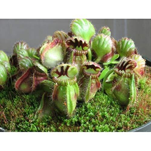 kisshes giardino - 10 pezzi rare venus flytrap sementi di piante carnivore semi di dionaea muscipula semi di acchiappamosche hardy