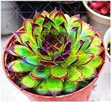 AGROBITS suculentas 100pcs bonsai color de la mezcla en macetas plantas suculentas Perenne Planta de interior flor de cactus piedra ornamental para jardín de su casa: 16