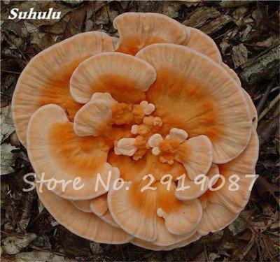 Nouveau 50 Pcs Ganoderma Graines Reishi Champignons Graines Graines de légumes biologiques pour jardin plantes non Ogm 16