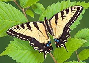 Swallowtail (Butterfly) - 3D Lenticular Postcard - Greeting card by 3Dstereo Postcard