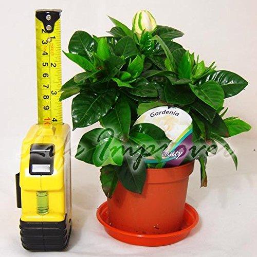 1-scented-gardenia-jasmine-evergreen-indoorn-house-plant-in-pot-garden-15-20cm-tall-including-pot
