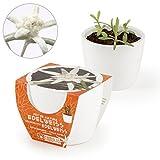 Edelweiß im Mini-Keramiktopf, Mini-Edelweiss Anzuchtset, Leontopodium nivale seeds, Pflanzen selbersäen, Blumen anbauen, Weiß