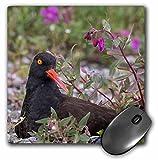 Danita Delimont - Birds - USA, Alaska, Glacier Bay NP. Black oyster catcher bird and flowers. - MousePad (mp_208091_1)