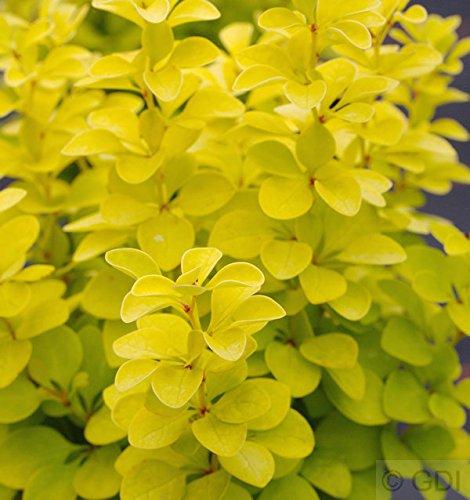 Goldberberitze Maria® 20-25cm - Berberis thunbergii