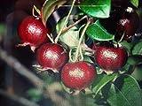 TOMHY Samen-Paket: 3 X Ugni molinae 8x8x8cm Seed Strawbs + Zimt Degustation gesunde Frucht Hoch Vits