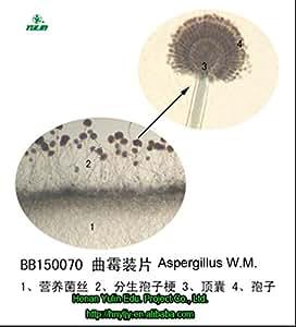 lame de microscope prêt, Aspergillus W.M. de la Chine du alibaba