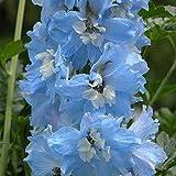 Delphinium - Rittersporn - Pacific Giant - Sky Blue - 15 Samen