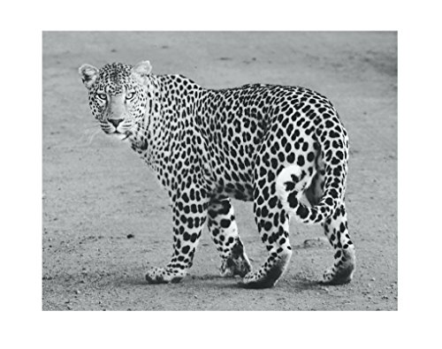 Wild Cheetah Poster Print Kunst, 27,9x 35,6cm, Schwarz Weiß Grau Farbe, Modern Home Decor