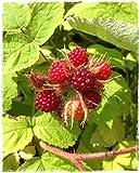 Portal Cool Pflanze Himbeere Japanischer Wein Himbeere - Topf 14 Cm