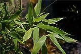 Baumschule Pflanzenvielfalt Fargesia rufa - Hecken- und Garten-Bambus - 40-60 cm - Immergrün für Baumschule Pflanzenvielfalt Fargesia rufa - Hecken- und Garten-Bambus - 40-60 cm - Immergrün