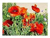 Klatschmohn - Mohn - Blume - 20.000 Samen