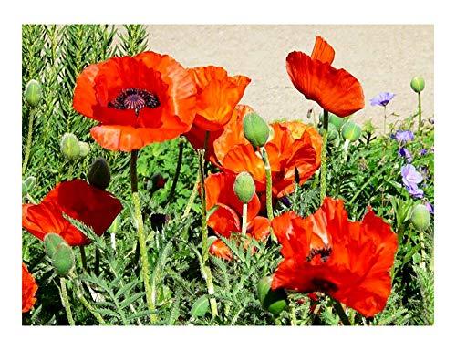 Klatschmohn - Mohn - Blume - 20000 Samen