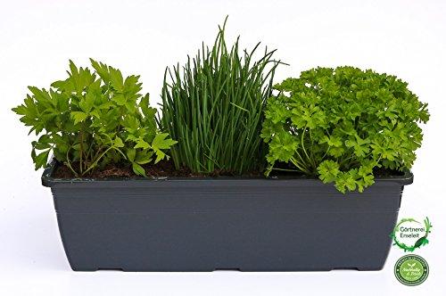 """Kräuterkasten für\""""Salate & Suppen\"""" 40cm Anthrazitkasten mit je 1er Kräuter Pflanze: Liebstöckel, Schnittlauch & Petersilie"""