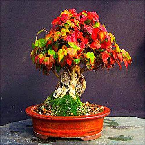 ShopMeeko SEEDS: 20 Stück China pflanzt Startseite Bonsai-Baum Seltene Pflanzen Himmel Pflanze Bonsai Mini Balkon Pflanzen Sementes Männer Geschenk Hot Sal: Violett