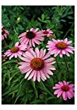 Premier Seeds Direct PT-7DB9-7OR9 Purpur-Sonnenhut Bravado BlumenSamen (Packung mit 40)