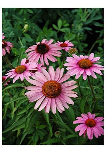 Premier Seeds Direct PT-7DB9-7OR9 Purpur-Sonnenhut Bravado BlumenSamen (Packung mit 40)