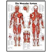 Realista cartel anatómica para mostrar una gráfica de músculos anatómico