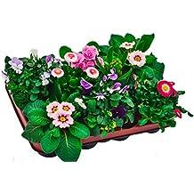 Blumen-Box, Primeln Bellis Zwiebel Mix rosa