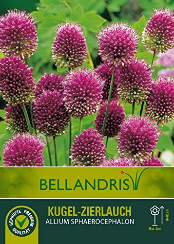 mgc24® Kugelförmiger Zierlauch Allium Sphaerocephalon - 20 Blumenzwiebeln (ca. 5mm)