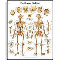 3B Scientific Human Anatomy - The Human Skeleton Chart, Paper Version