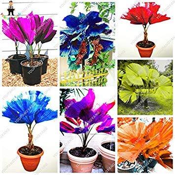 60 PC/Beutel Regenbogen Lady Palm Topfpflanzen Samen, Palme Pflanzen Bonsai Angiospermen, Misch Perennial Seltene Blumen Plante: Gemischt