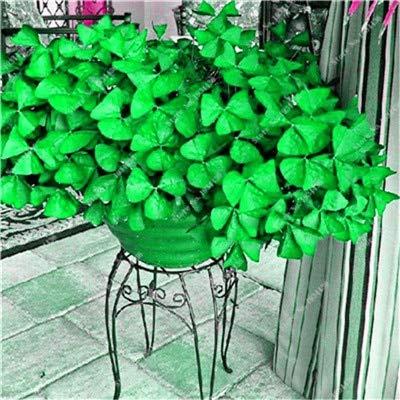 Shopmeeko Kostenloser Versand 100 Stück Oxalis versicolor Blumen Pflanzen Seltene Blumen...