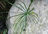 Cyperus alternifolius known as umbrella palm is a grass like plant .