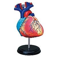 4D Master Human Anatomy Heart Model
