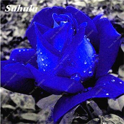 De nouvelles semences 2017! 24 Couleurs Rose Graines Plantes vivaces Rose pot de fleurs Graines cour et balcon extérieur Plant-150 Pcs 15