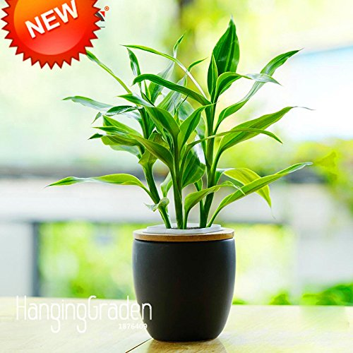 Grande vendita! 100 pc / pacchetto Phnom Penh Dracaena semi in vaso Balcone Lucky Bamboo Semi Piante radiazione di assorbimento delle piante, #