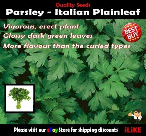 Persil italien Plainleaf 250 Semences potagères minimum jardin de fines herbes Saveur forte