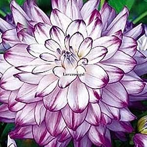 AGROBITS 50 Pz Dalia semi di fiore di bellezza facile da coltivare il giardino domestico di fiori freschi Ka