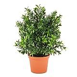 Deko Buchs Busch im Topf, UV-Sicher, 30 cm - Buchbaum Kugel / Kunstpflanze Buchs - artplants