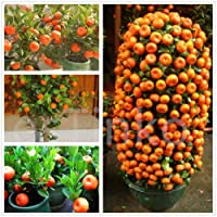 Creative Farmer Live Plant Orange Live Plant - High Yielding Hybrid Israel Orange Dwarf Tropical Fruit Plant Plant (1 Healthy Live Plant)