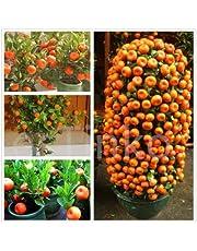 Creative Farmer Live Plant Orange Live Plant - High Yielding Hybrid Israel Orange Dwarf Tropical Fruit Plant Plant (1 Healthy Live Plant)