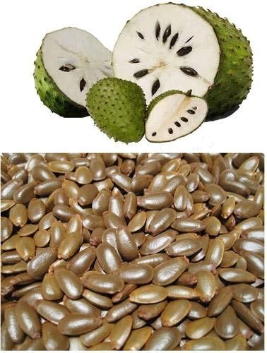 ShopMeeko SEED soursop, graviola, ANNONA Muricata, LAXMAN PHAL, HANUMAN PHAL Seed (50 pro Paket)