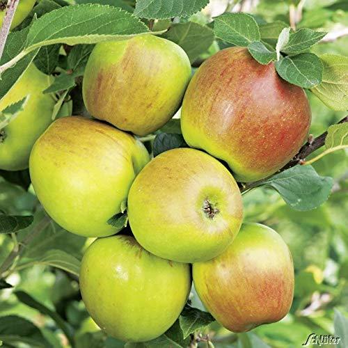 Apfel Goldparmäne - Malus - Winterhart - Fruchtreife September bis Oktober - Liefergröße circa 120cm als Containerpflanze