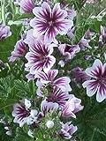 ZEBRA MALLOW (Malva sylvestris 'Zebrina') 20 Samen