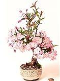 Japanische Zierkirsche/Blütenkirsche 10 Samen/Pack (Prunus serrulata) - ein rosa Blütentraum im Garten