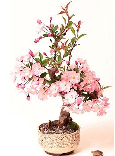 Galleria fotografica Ciliegio ornamentale giapponese/Fiori di Ciliegio/confezione da 10 semi - Prunus serrulata/Coltivabile come albero da giardino o bonsai