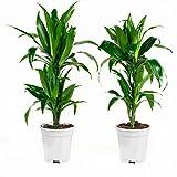FloraAtHome - Grünpflanze - Dracaena fragans Janet Craig - Drachenbaum - 65cm hoch - 2er-Set