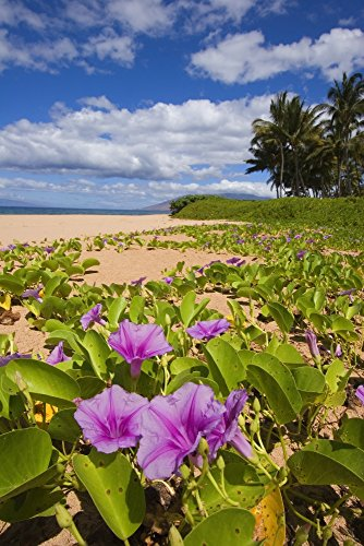 The Poster Corp Ron Dahlquist/Design Pics - USA Hawaii Maui Green Leafy Vines with pink Flowers on Keawakapu Beach; Kihei Photo Print (55,88 x 86,36 cm)