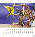 Freche Wellensittiche Postkartenkalender – Kalender 2017 - 4