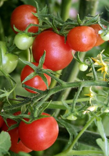 Lizzano F1 Tomato 10 Seeds - All American Selections Winner