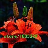 Pinkdose Semillas GGG Raras 100PCS Lirio anaranjado plantas raras de flores a domicilio semillas de flor de la jardinería bricolaje para jardín de plantación: Blanco