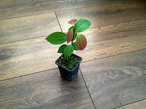 Ceylon Zimt (cinnnamomum Verum) * 1Pflanze * NEU. (Ceylon-zimt-pflanze)