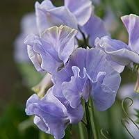 Pack Flower Seeds Sweet Pea 'Charlies Angel' Kings Quality Garden Seeds