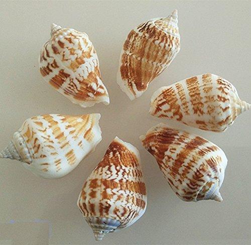 K&C Strombus Gallus Sea Shells 10 (Badeanzug England)